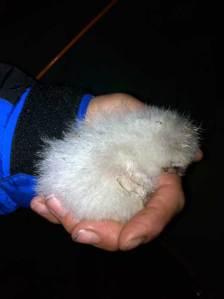 chick-at-night