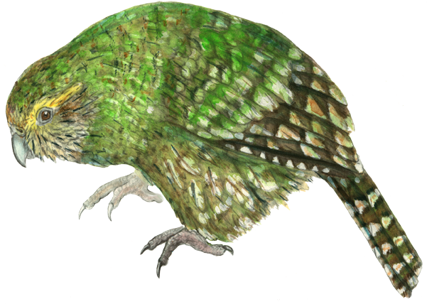 Illustrating the Kakapo–why? | Whakaata te Kakapo
