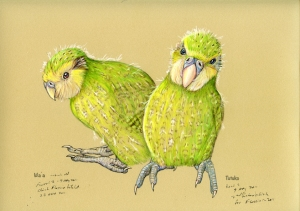 kakapo(Flossie)-chicks-2011-copy