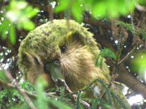 kakapoweeds